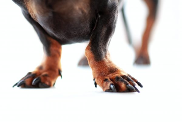 photograph of a dachshund with long black claws
